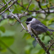 Black capped Chickadee — Stockfoto