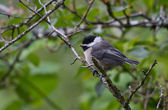 Black capped Chickadee — Stock Photo