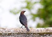 Brown headed Cowbird — Stock Photo
