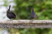 茶色の頭コウウチョウ — ストック写真