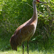 Stock Photo: sandhill crane