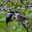 Black capped Chickadee — Stock Photo #11206874