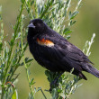 Stock Photo: Red wing blackbird