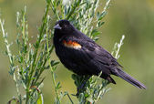 Red wing blackbird — Stock Photo