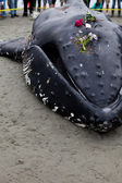 Juvenile Humpback whale washes ashore and died — Stockfoto