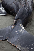 Humpback whale washes ashore and died — Stock fotografie