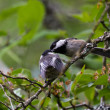 Black capped Chickadee — Stock Photo #11401986