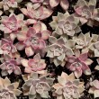 Graptosedum — Stock Photo