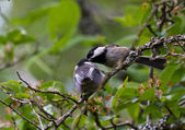 Black capped Chickadee — Photo