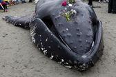 Juvenil kambur balina sahile yıkar ve öldü — Stok fotoğraf