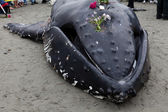Juvenile buckelwal an land spült und starb — Stockfoto