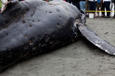 Juvenile Humpback whale washes ashore and died — Stock Photo