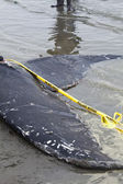 Juvenile Humpback whale washes ashore and died — 图库照片