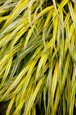 Golden variegated hakone grass — Stock Photo