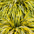 Stock Photo: Golden variegated hakone grass