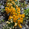 Tropaeolum polyphyllum flower - Stock Photo