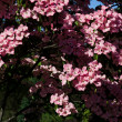 Kousa dogwood tree - Stock Photo