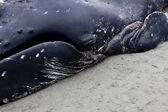 несовершеннолетних горбатых китов моет на берег и умер — Стоковое фото
