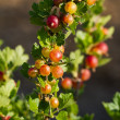Red Gooseberry — Stock Photo #11764426