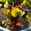 Stock Photo: Red Veined Sorrel