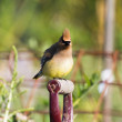 Cedar Waxwing — Stock Photo