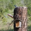 Mountain Bluebird - Photo
