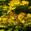 Golden full moon maple tree — Stock Photo #11765521