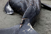 Humpback whale washes ashore and died — Foto Stock