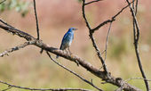 Mountain Bluebird — Stock Photo