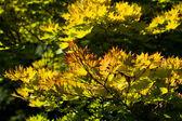 Drzewo klon złoty księżyc — Zdjęcie stockowe