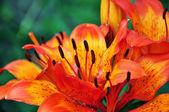 Orange flower in the field — Stock Photo