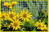 Belles fleurs jaunes — Photo