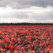Royalty-Free Stock Photo: Red Flower Field