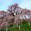 Постер, плакат: Cherry trees in full blossom