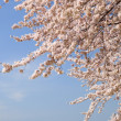 Cherry tree and snowy mountain - Stock Photo