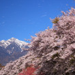 Постер, плакат: Cherry blossoms and snowy mountain