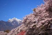 Cherry blossoms and snowy mountain — Stock Photo