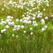 Cotton grass - Stock Photo