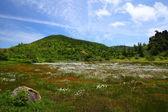 Cotton grass and mountain — Stock Photo
