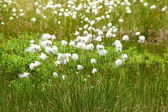 Cotton grass — Stock Photo