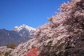 Cherry tree and snowy mountain — Stock Photo