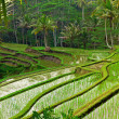 Rice field terrace in Bali — Stock fotografie