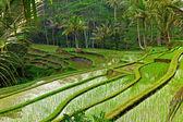 Rice field terrace in Bali — Stock Photo