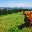 Cow on green grass — Stock Photo #11414519
