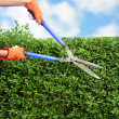 Stock Photo: Hands with garden shears cutting hedge in garden