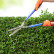 Hands with garden shears cutting a hedge in the garden - Stock Photo