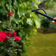 Hands with garden shears cutting a hedge in the garden - 