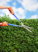 Hands with garden shears cutting a hedge in the garden — 图库照片