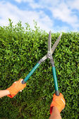 Hands with garden shears cutting a hedge in the garden — Stock Photo