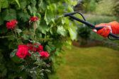 руки с садовые ножницы резки хеджирования в саду — Стоковое фото
